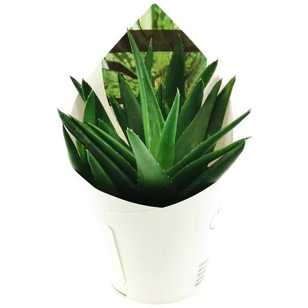 ALOE BLACK GEM  - POT Ø 10,5 | Giromagi