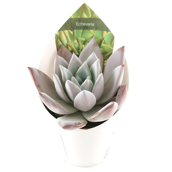 ECHEVERIA MEXICAN GIANT - POT Ø 10,5 | Giromagi