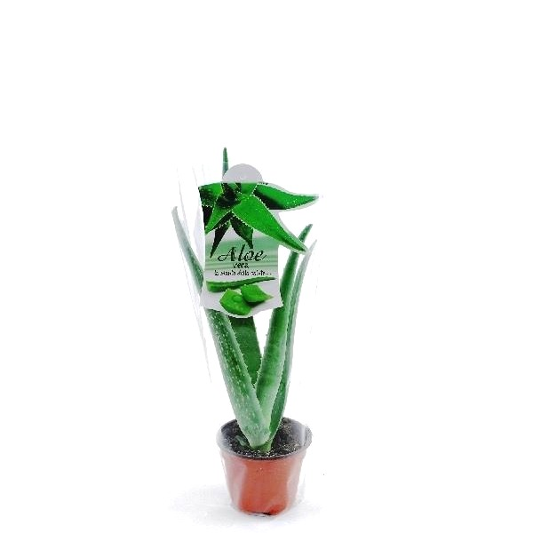 ALOE VERA POT Ø 10.5 WITH CLEAR ENVELOPE AND CARD | Giromagi