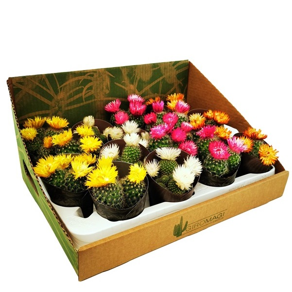 ASSORTED PLANTS - DRIED FLOWERS VASE Ø 6,5 - 16 pcs - CARDBOARD DISPLAY | Giromagi